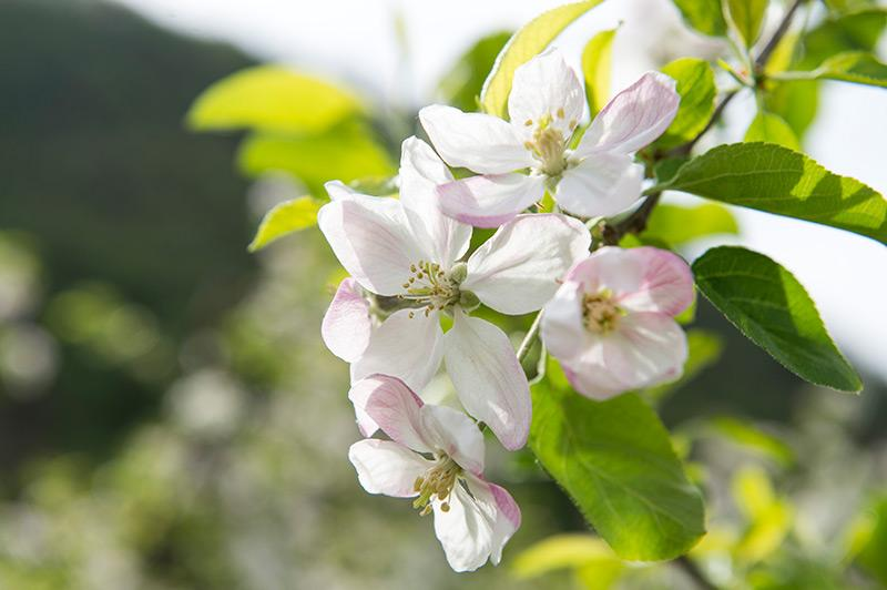 time of apple blossom