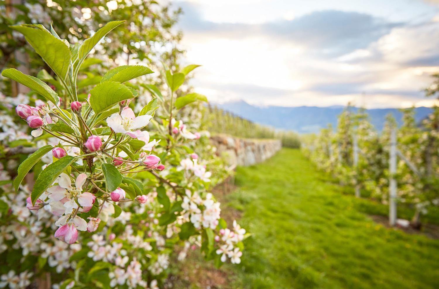 blossoming apple orchards in spring